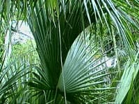 Belle feuille costapalmée de Sabal palmetto