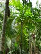 areca-catechu-adultes